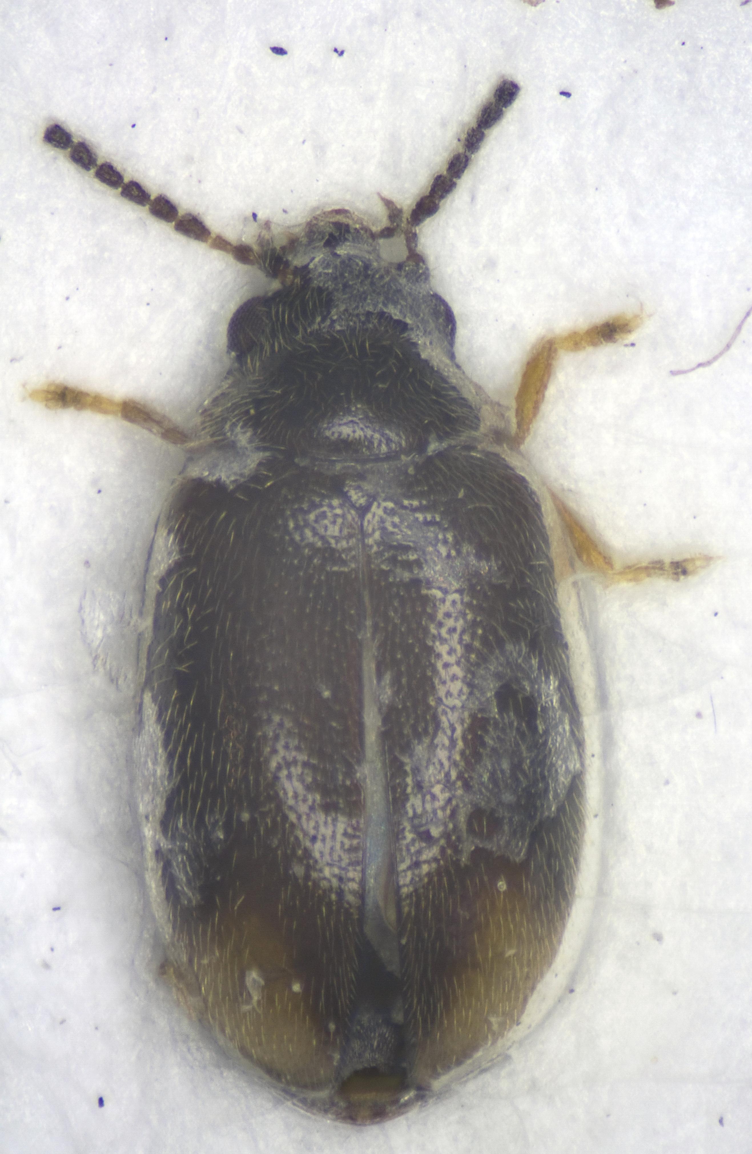 Image of <i>Cyphon padi</i> (Linnaeus 1758)