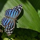 Image of Mexican Bluewing