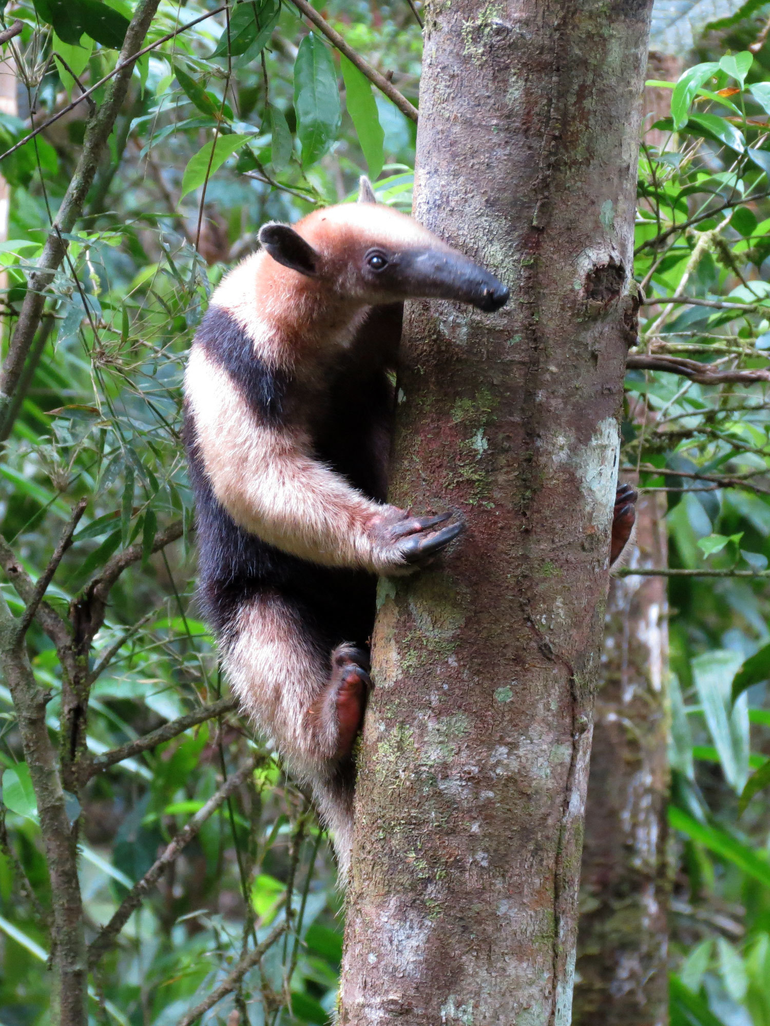 Image of Northern Tamandua