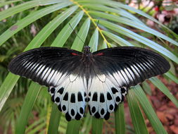Image of Blue Mormon