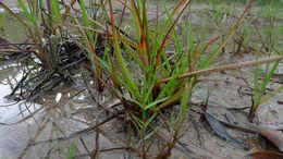 Image of <i>Juncus planifolius</i> R. Br.