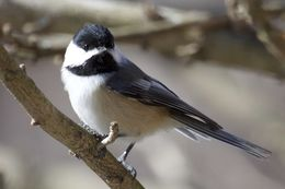 Image of Black-capped chickadee