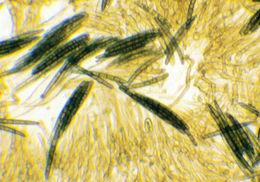 Image of <i>Geoglossum cookeanum</i> Nannf. ex Minter & P. F. Cannon 2015
