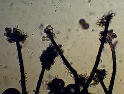 Image of <i>Periconia minutissima</i> Corda 1837