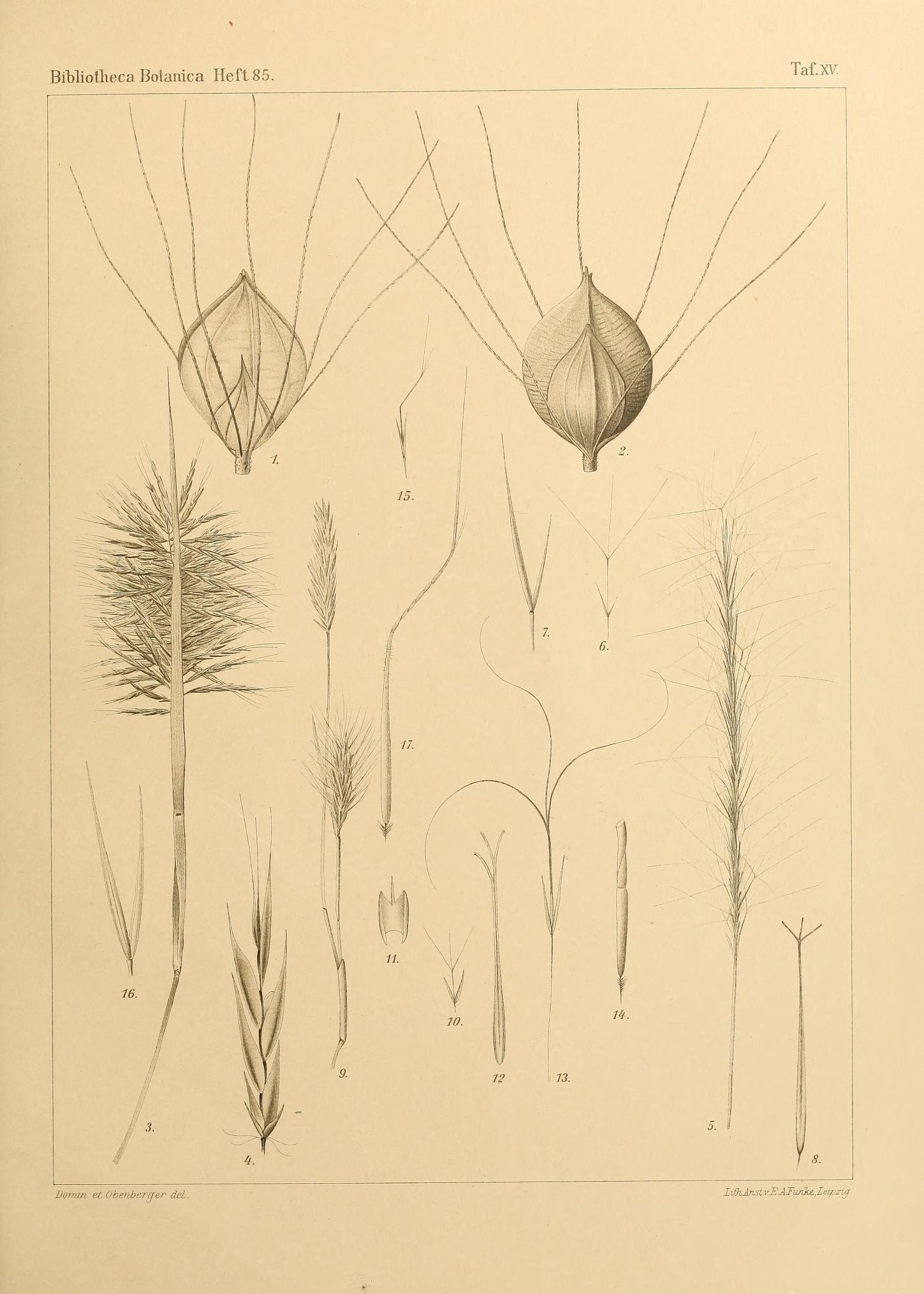 Image of <i>Setaria queenslandica</i> Domin