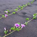 Image of Beach moning glory