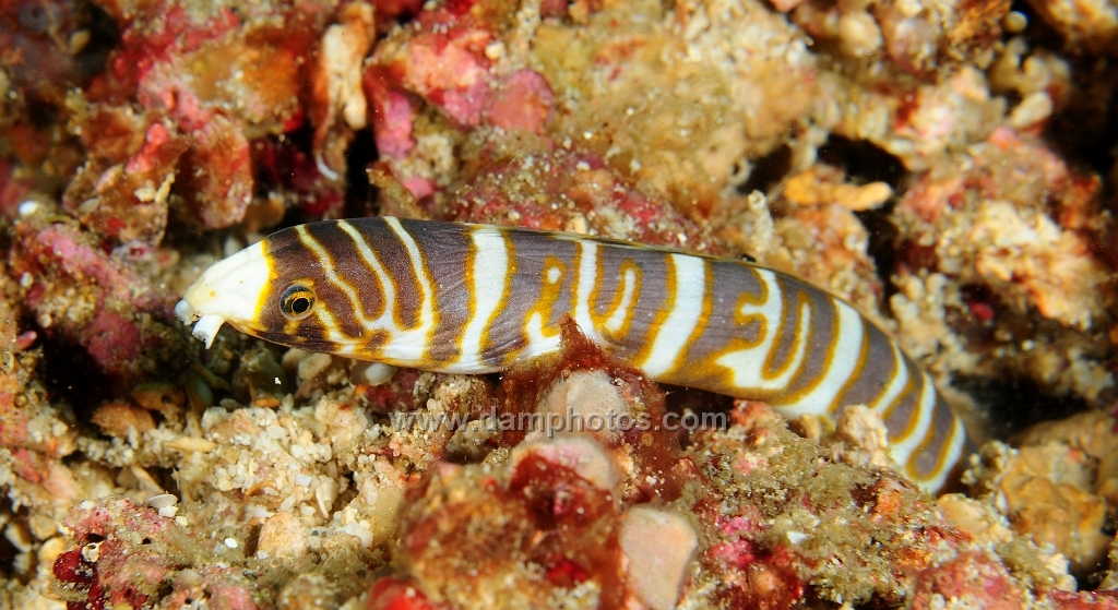 Image of Whitenose snake eel
