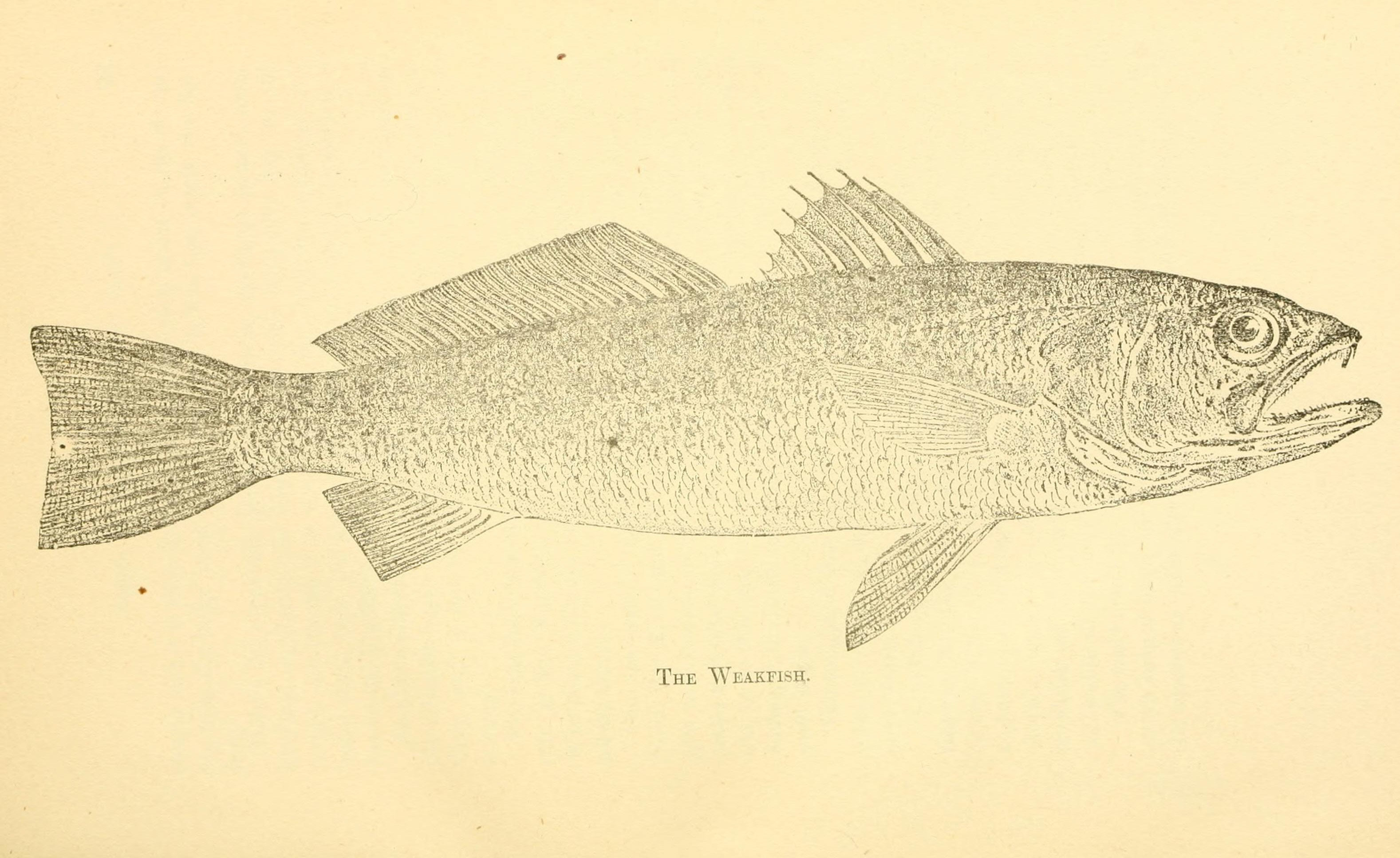 Image of Gray weakfish