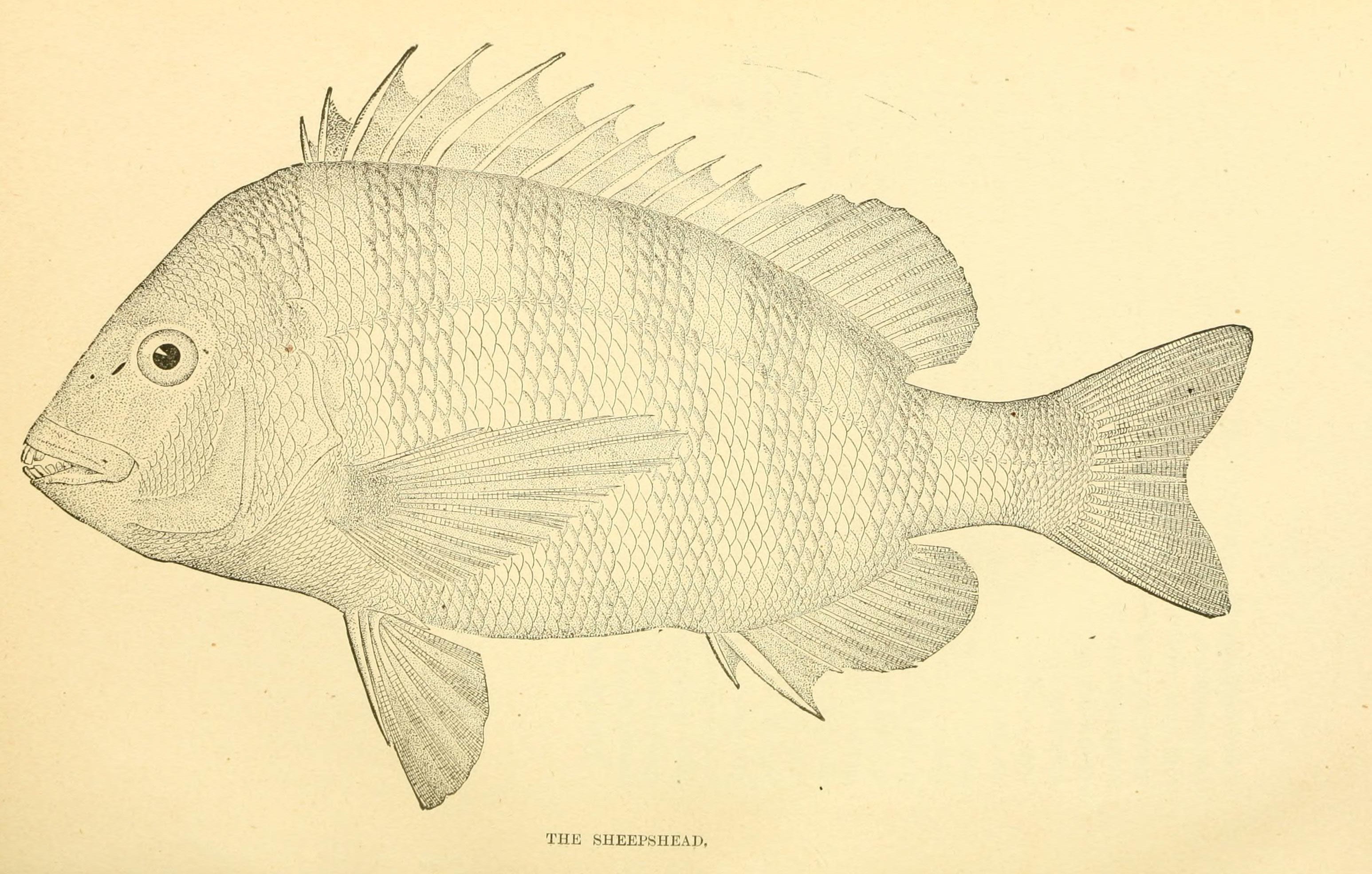 Image of Convict Fish