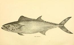 Image of Oceanic Bonito