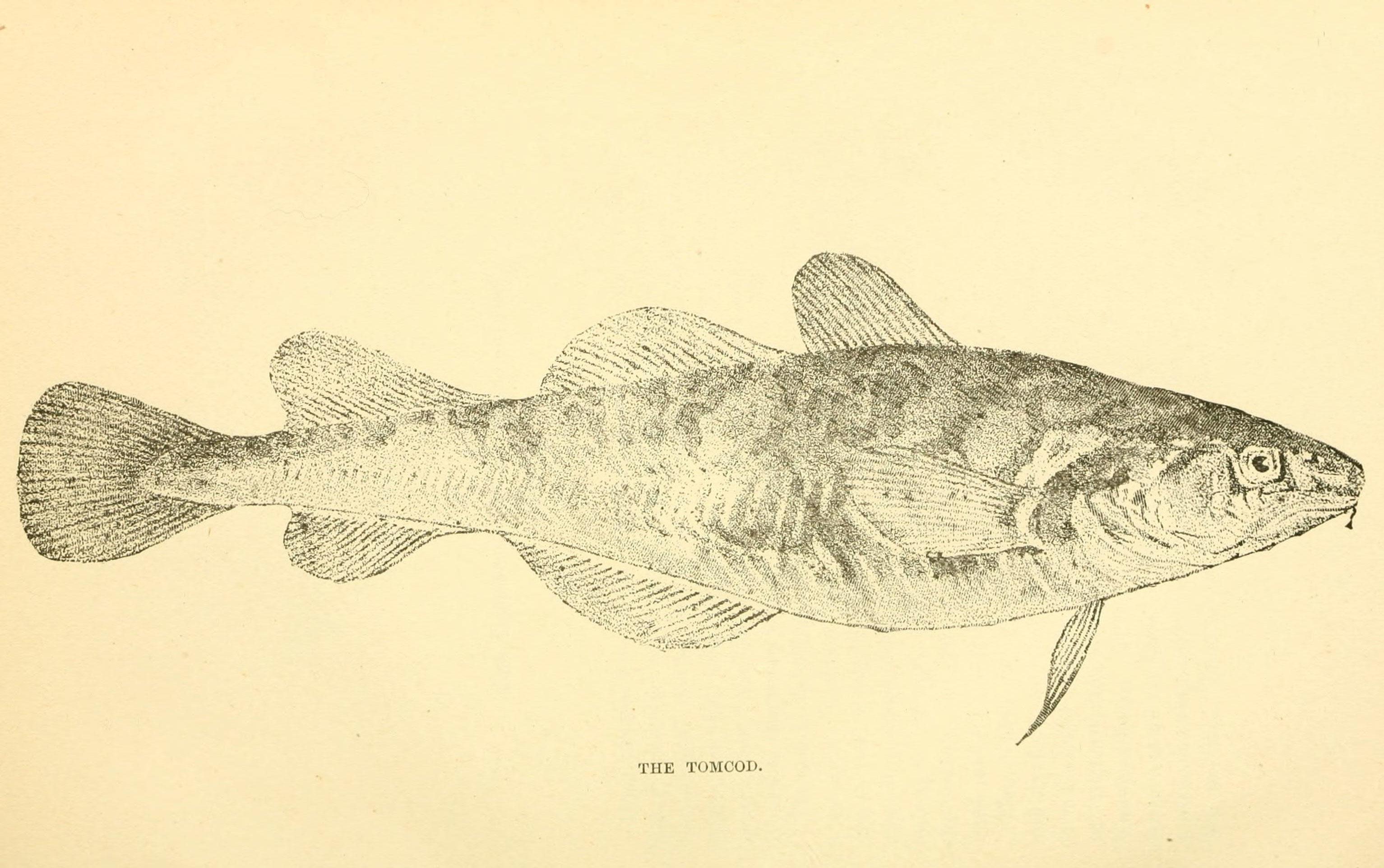 Image of Atlantic Tomcod
