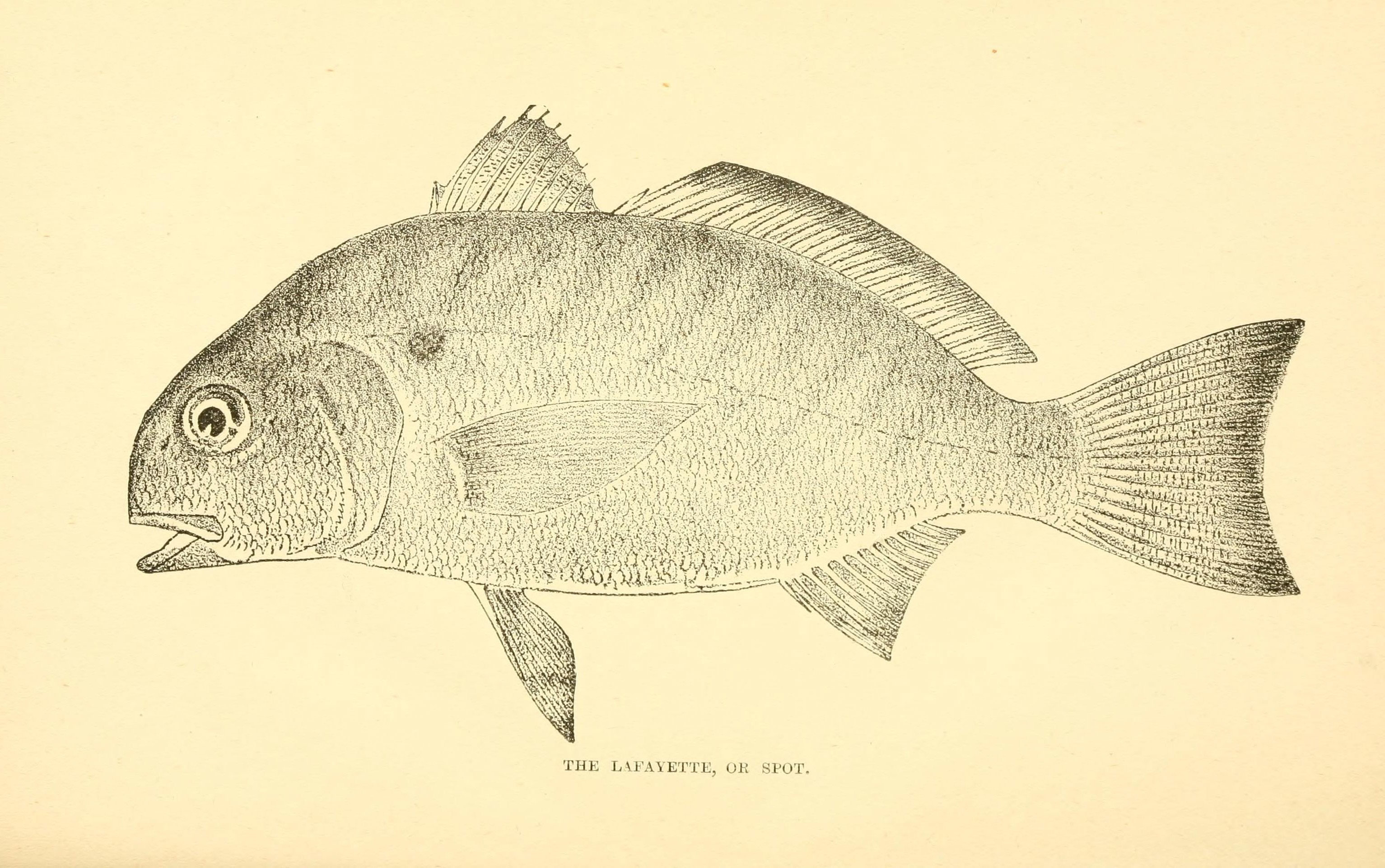 Image of Spot Croaker