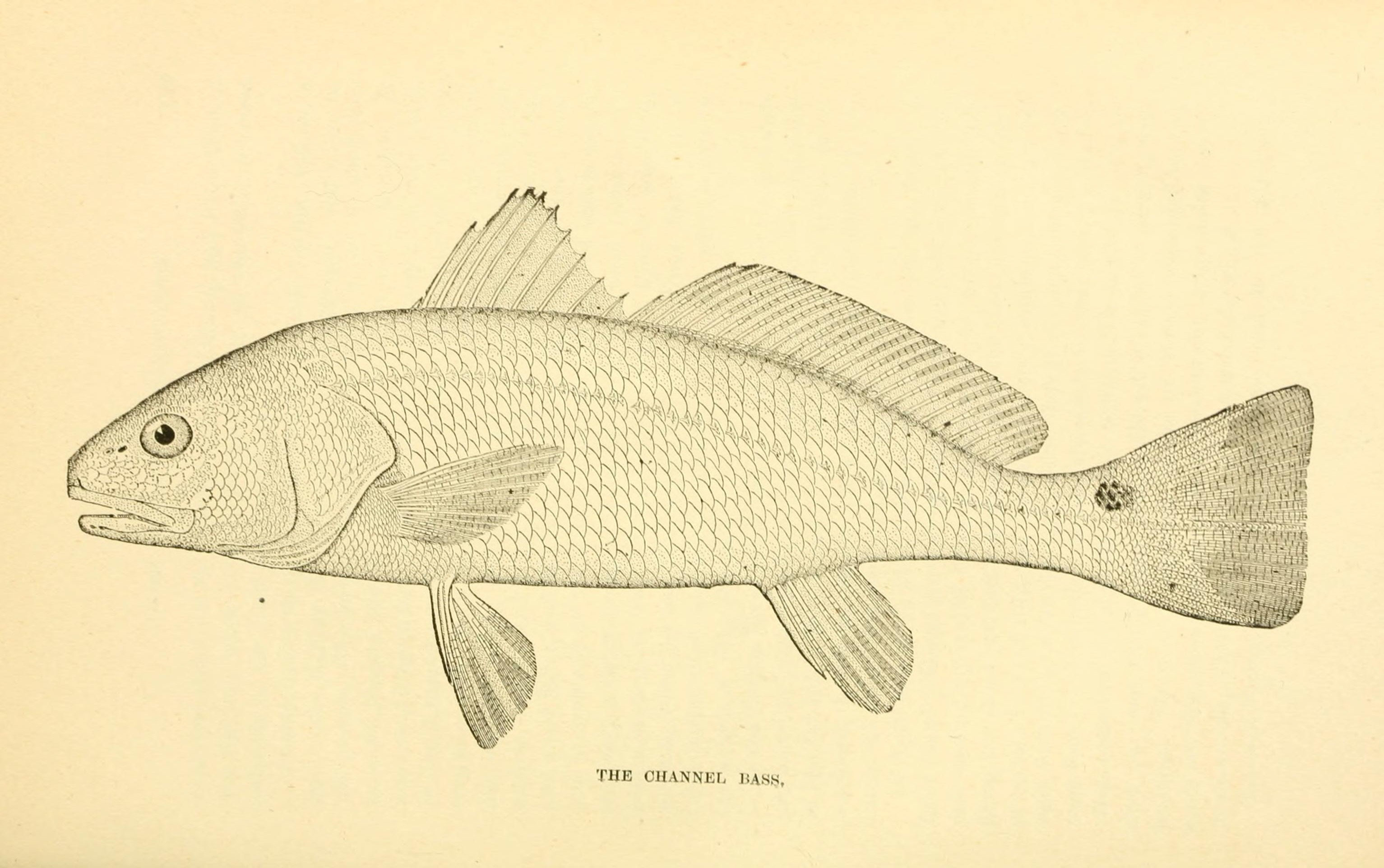 Image of Channel Bass