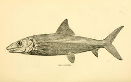 Image of Atherina hepsetus