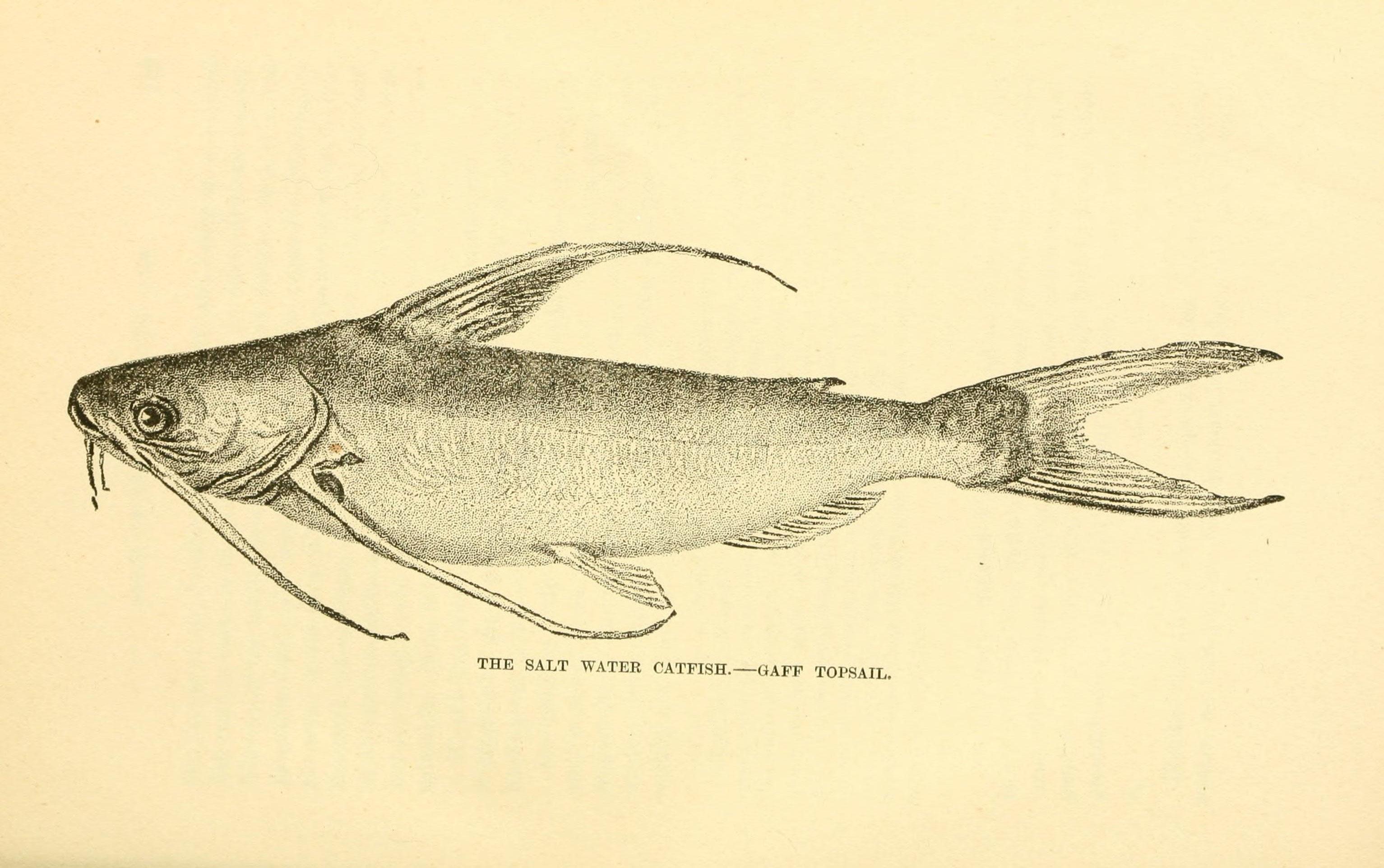 Image of Gafftopsail Sea Catfish