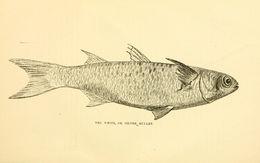 Image of Blueback Mullet