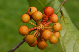 Image of <i>Cremastosperma panamense</i> Maas