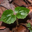 Image of <i>Mendoncia gracilis</i> Turrill