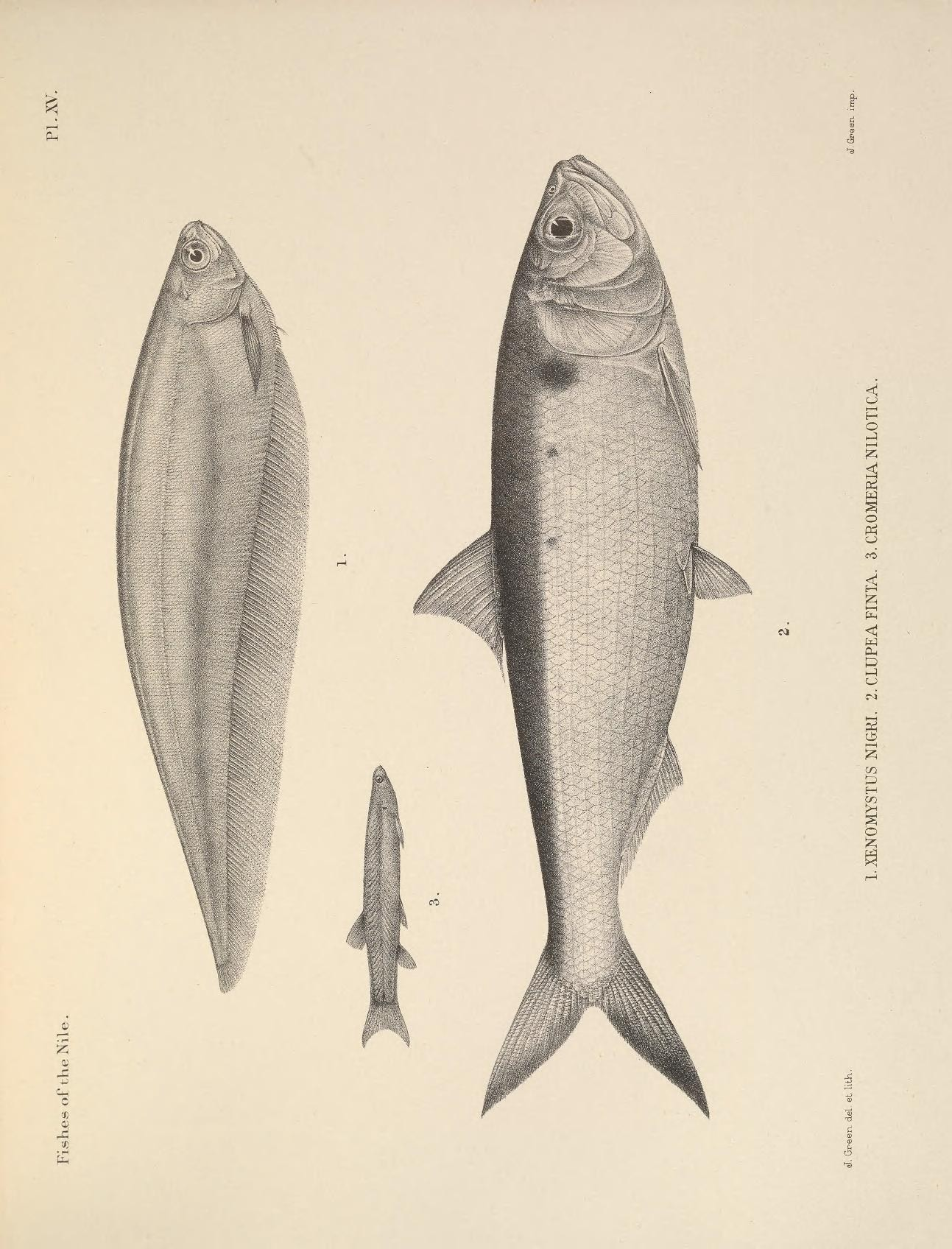 Image of African knifefish