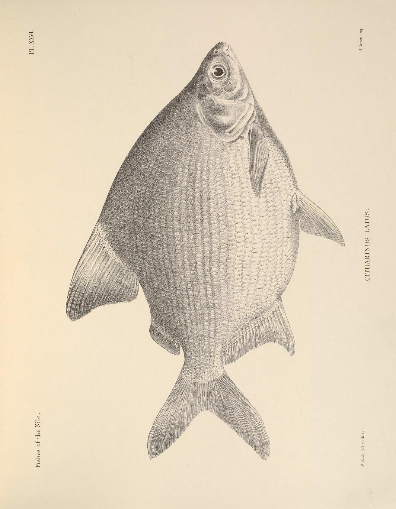 Image of <i>Citharinus latus</i> Müller & Troschel 1844