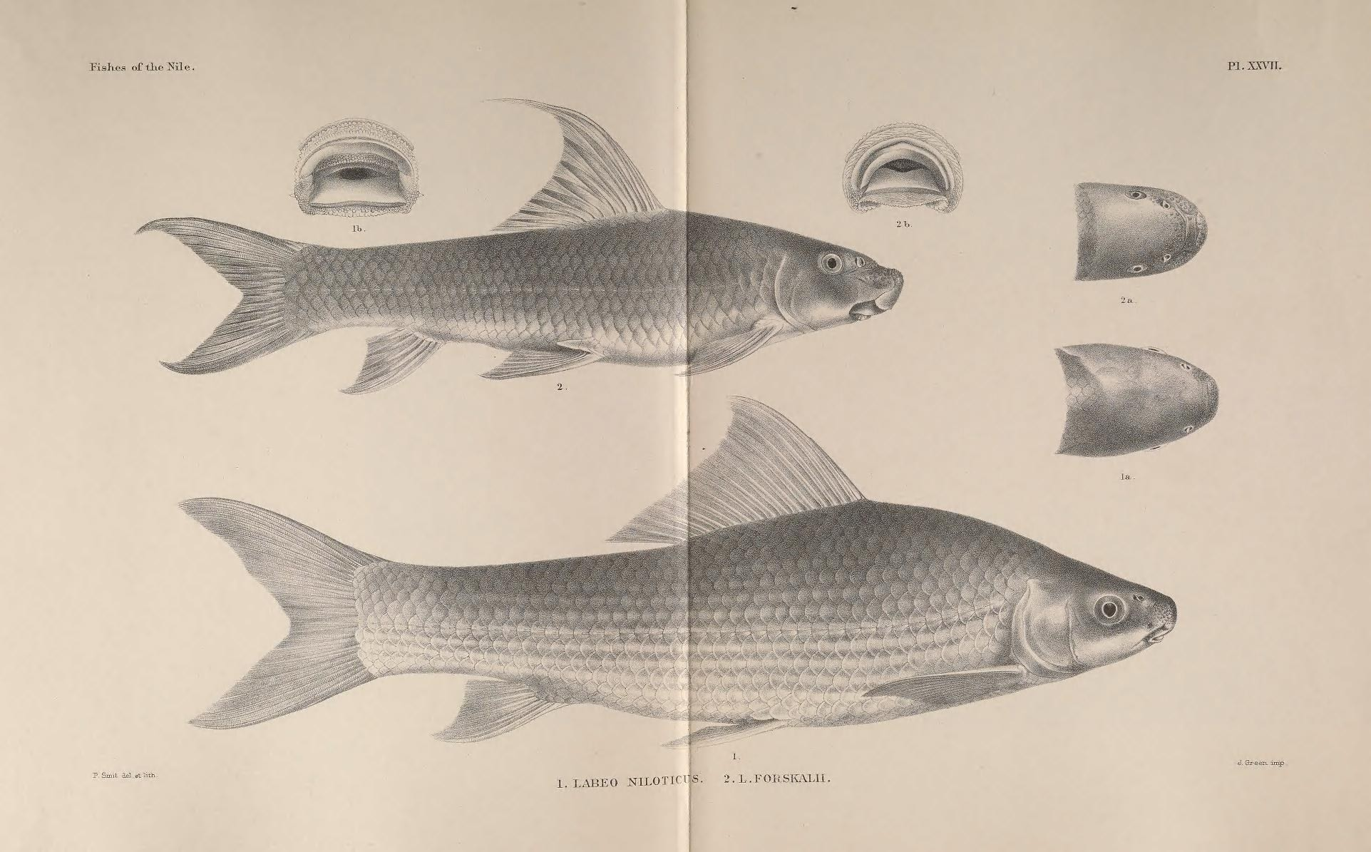 Image of <i>Labeo forskalii</i> Rüppell 1835