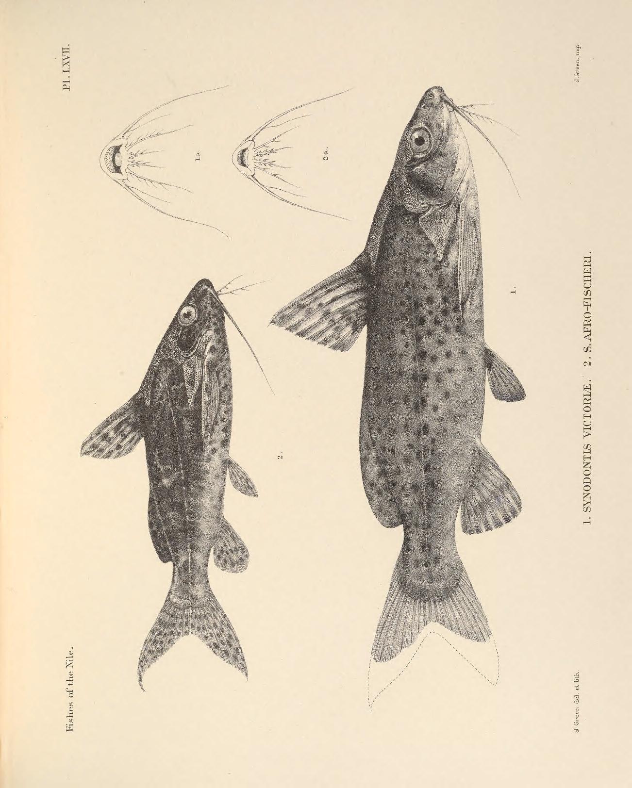 Image of Lake Victoria Squeaker