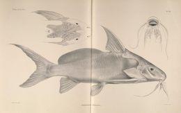 Image of Shield-head Catfish