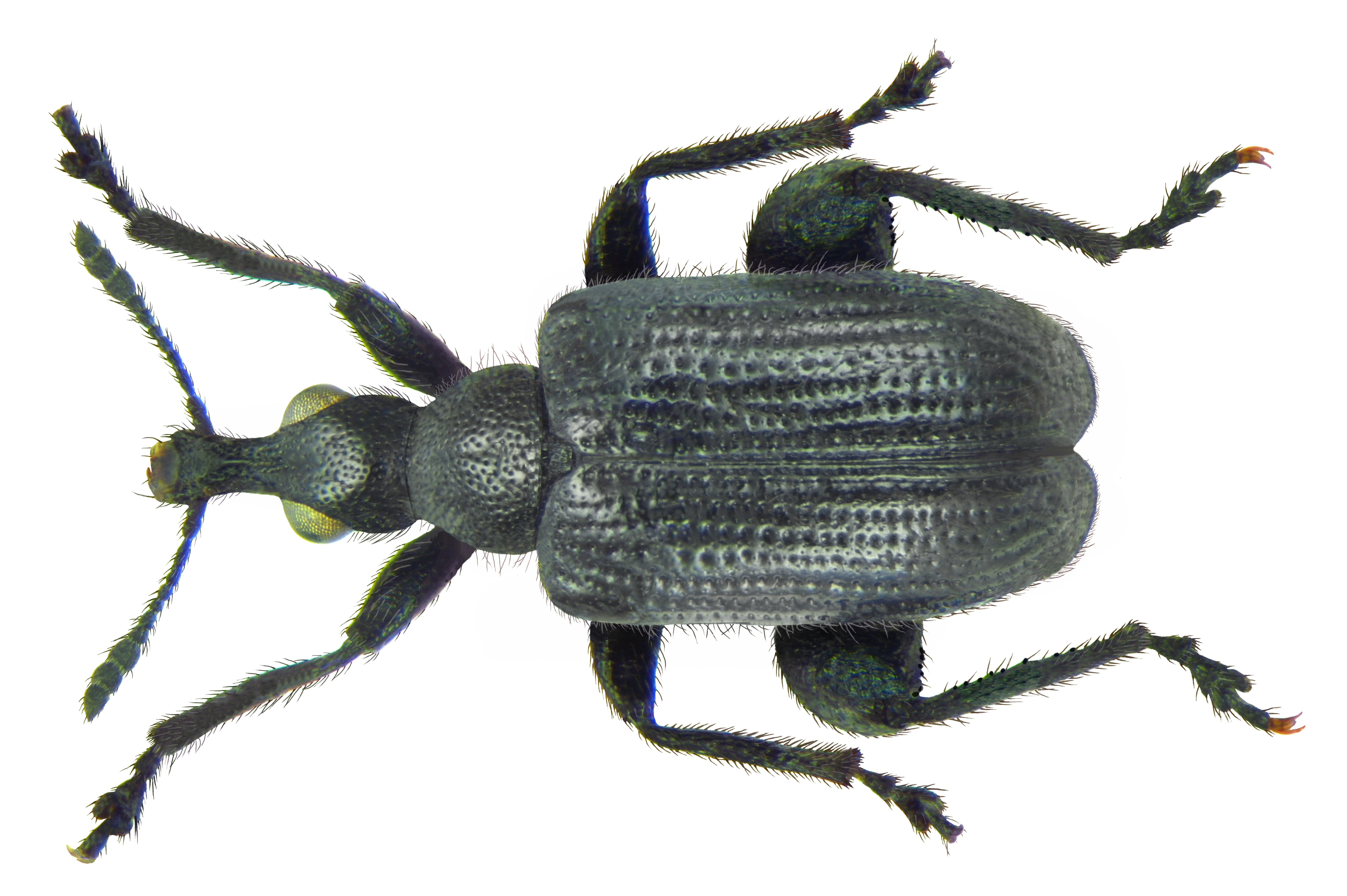 Image of <i>Deporaus betulae</i>