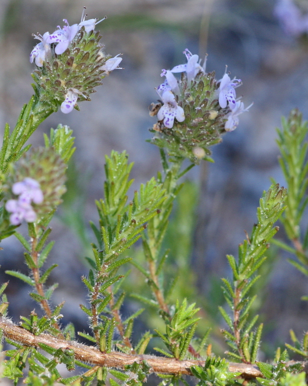 Image of wild pennyroyal