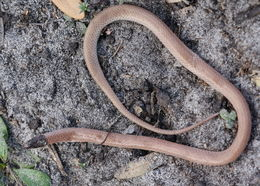 Image of Central Florida Crowned Snake