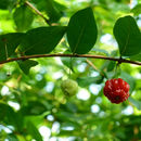 Image of Surinam cherry
