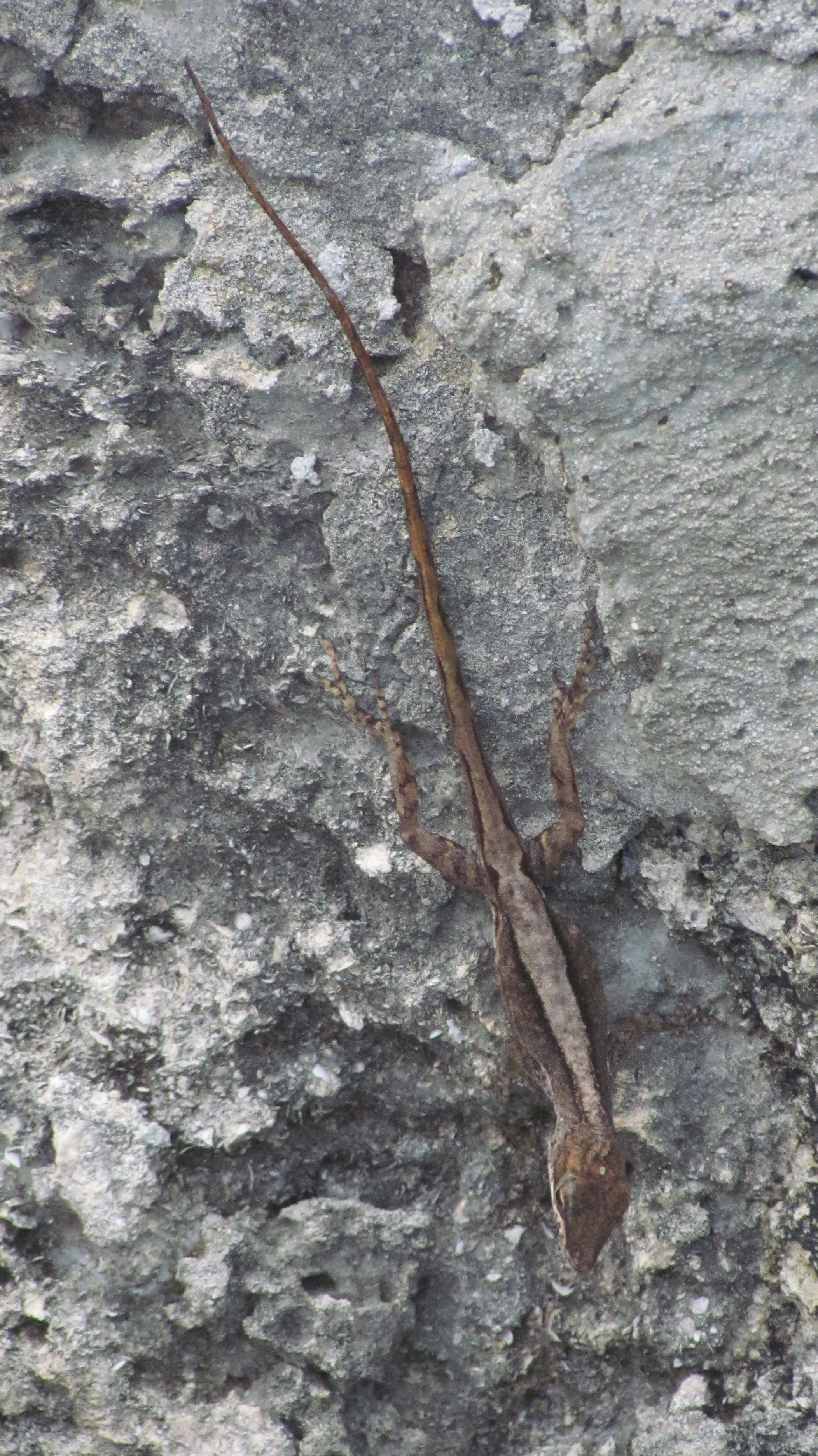 Image of Watts' Anole