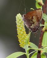 Image of <i>Callophrys henrici</i>