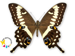 Image of Emperor Swallowtail
