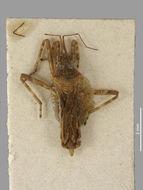 Image of <i>Steinovelia virgata</i> (Buchanan-White 1879)