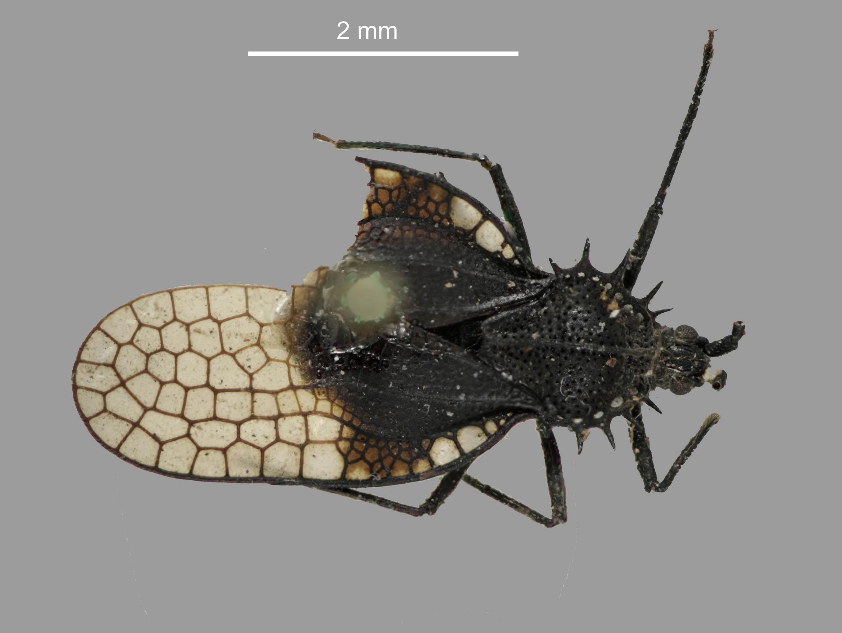 Image of <i>Acanthocheila abducta</i> Buchanan-White 1879