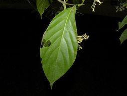 Image of <i>Chomelia venulosa</i> W. C. Burger & C. M. Taylor