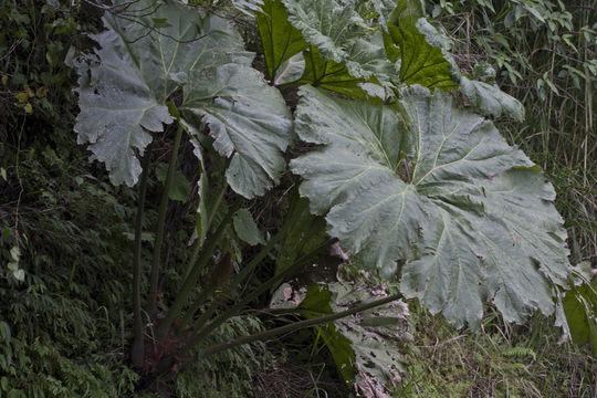 Image of <i>Gunnera mexicana</i> Brandeg.