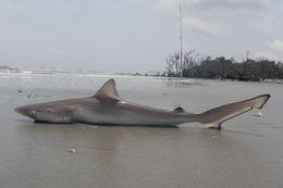 Image of Atlantic Sharpnose Shark