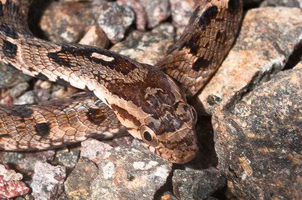 Image of Common False Viper