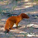Image of Slender Mongoose