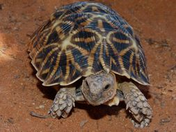 Image of African Serrated Tortoise