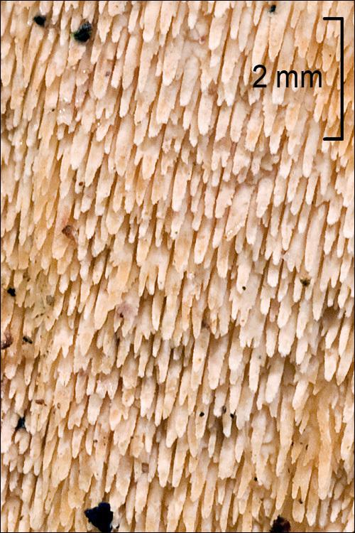 Image of <i>Steccherinum bourdotii</i> Saliba & A. David 1988