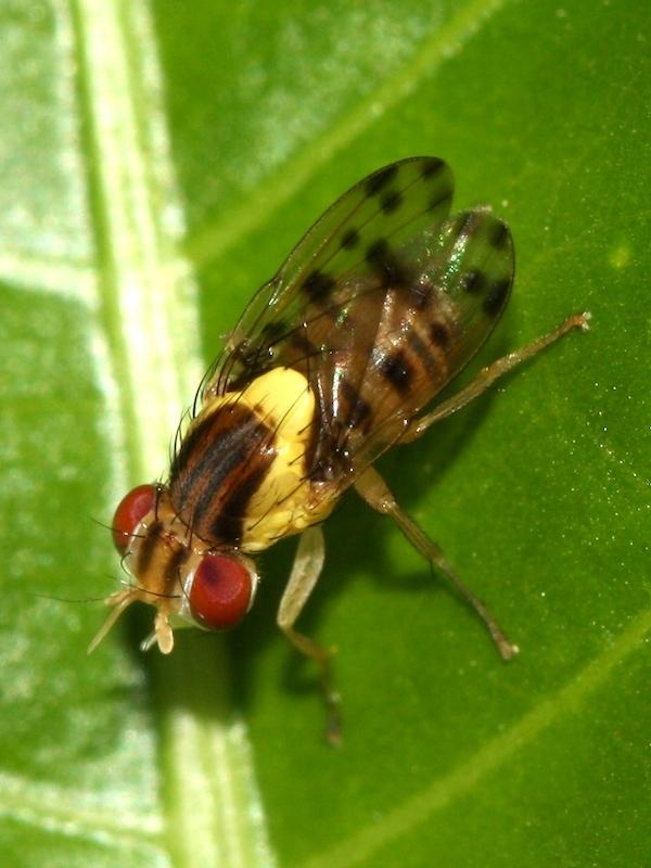 Image of <i>Wawu queenslandensis</i> Kim 1994
