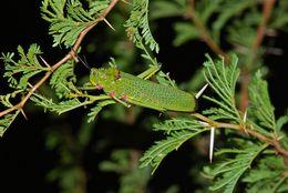 Image of African bush grasshopper