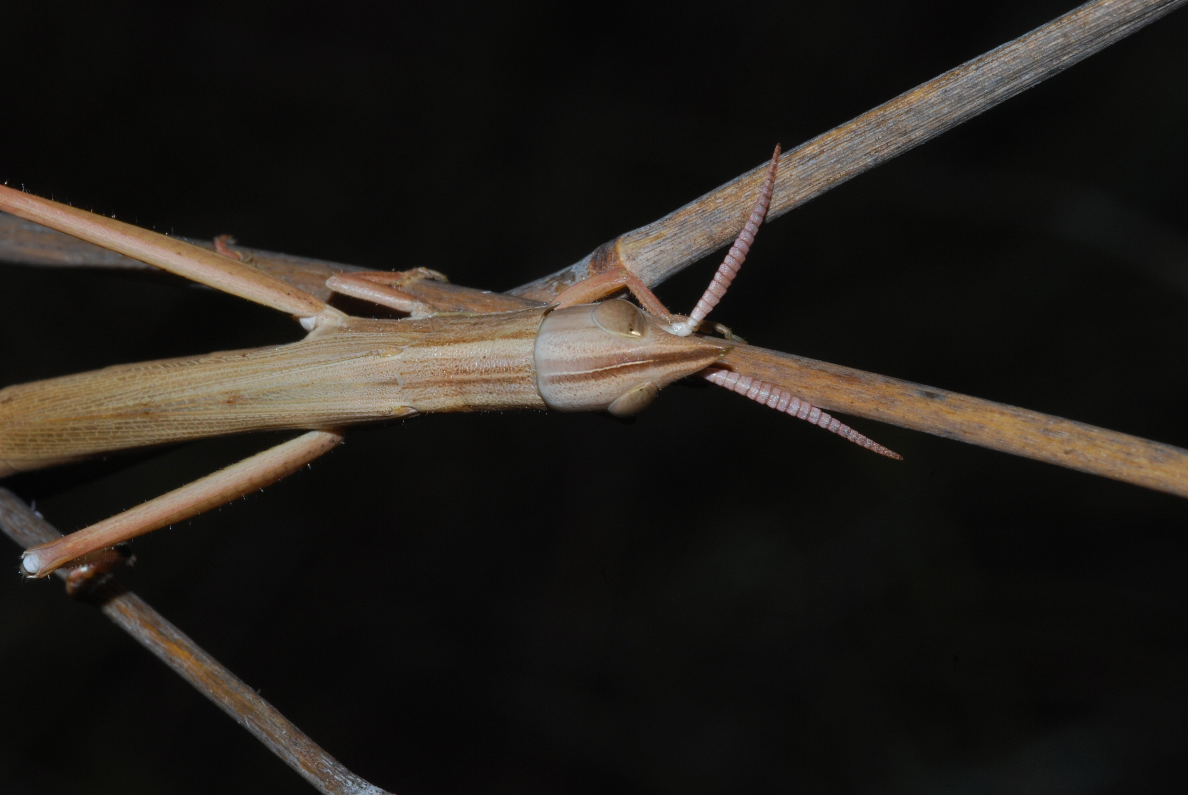 Image of <i>Leptacris elegans</i>