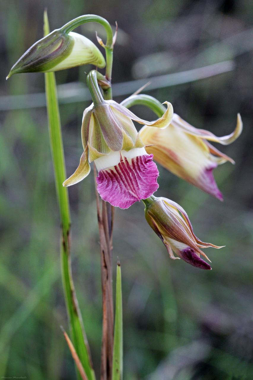 Image of <i>Galeandra montana</i>