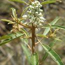 صورة <i>Croton argyranthemus</i> Michx.