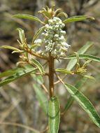 Sivun <i>Croton argyranthemus</i> Michx. kuva