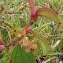Image of <i>Clidemia capitellata</i> (Bonpl.) D. Don
